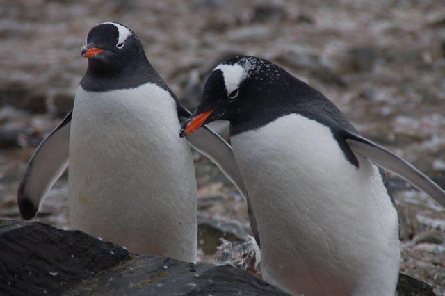 Pinguini antartici