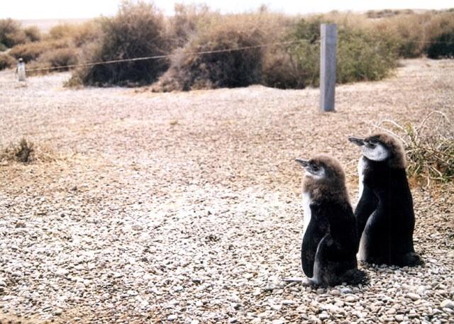 Pinguinos Magallanicos