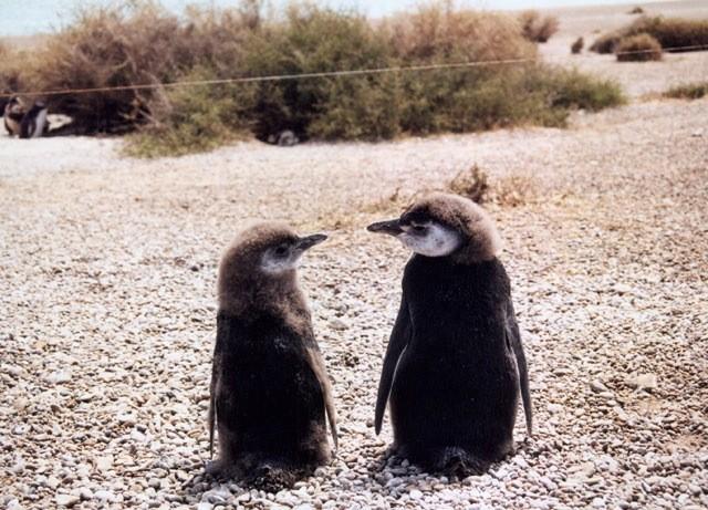Parejita de Pinguinos