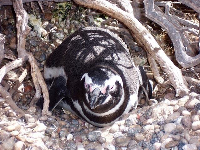 Pinguino descansando