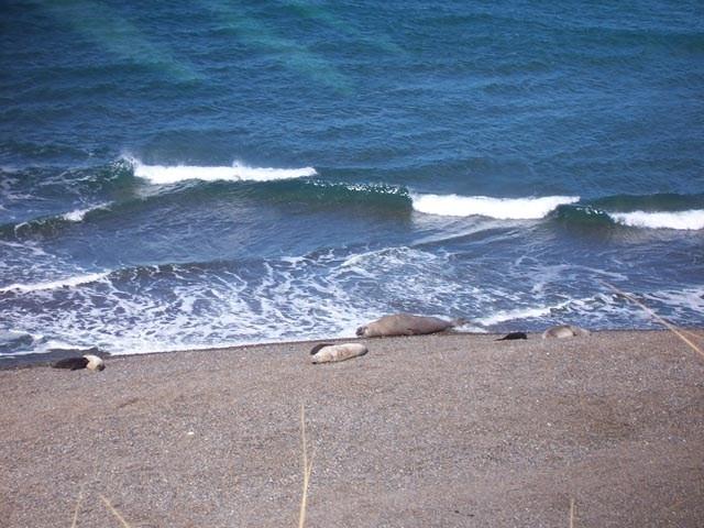 Lobos Marinos en la costa
