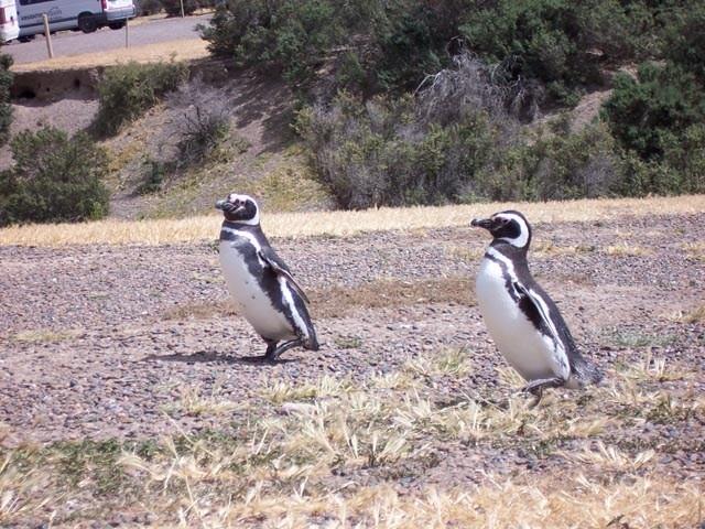 Pareja de pinguinos caminando