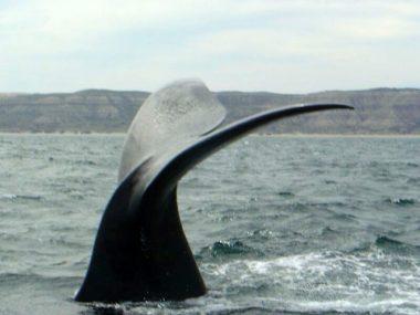 Avistaje de la ballena Franca en la Península Valdés