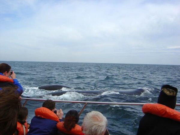 Avistaje de la ballena Franca