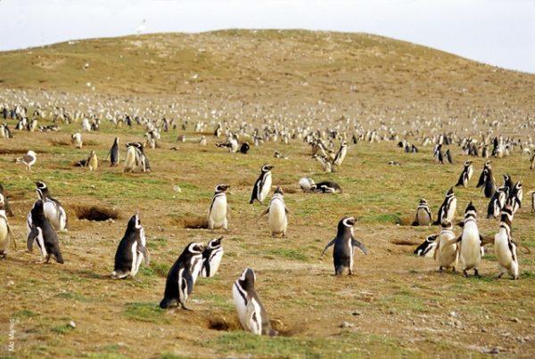 Pinguino di Magellano dell'isola di Magdalena