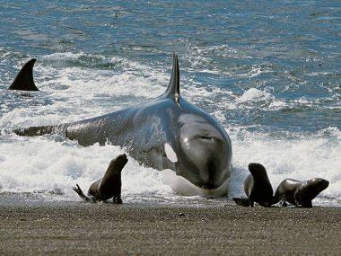 Varamiento intencional de Orcas