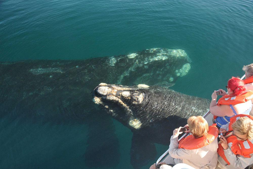 Avistaje de la ballena Franca en Puerto Pirámides